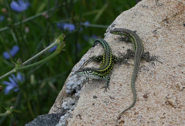 DSC_6758 lizard crop.jpg